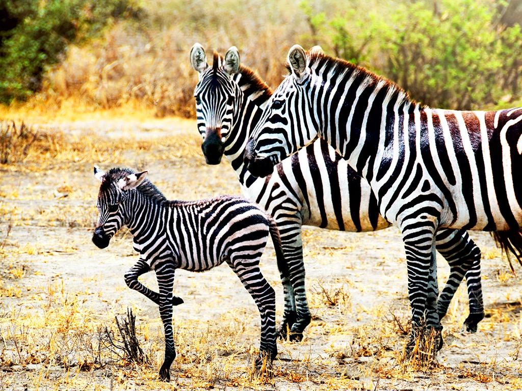 Première journée de safari dans la savane du Tsavo Est
