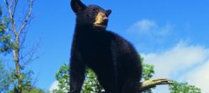 Ours, Orques et culture amérindienne