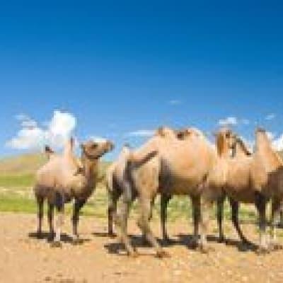 Visite d'une famille d'éleveurs de laine de chameau