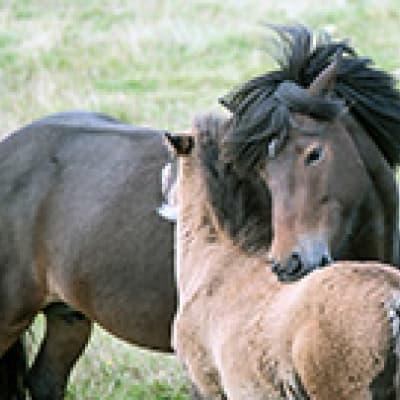 Balade à cheval vers Reykjavik