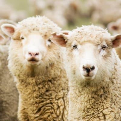 Les moutons font leur show !