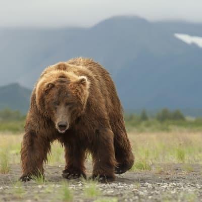 Observation des ours bruns