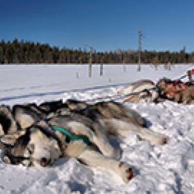 Raid en traîneau à chiens à Kulusuk