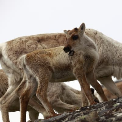 Visite d'un élevage de rennes à Rovaniemi