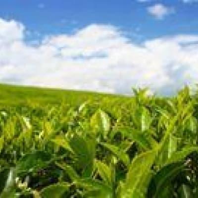 Visite des plantations de thé