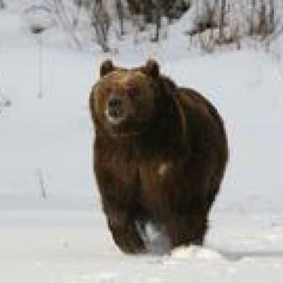 Croisière d'observation des ours