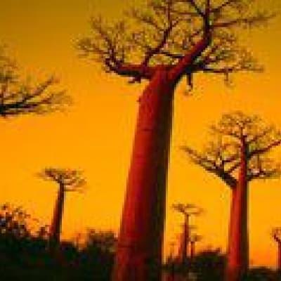 La forêt de baobabs
