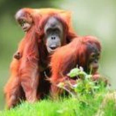 Centre de réhabilitation des orangs-outans de Semenggoh
