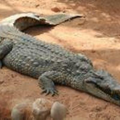 Elevage de crocodiles
