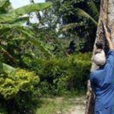 Visite de la plantation d'hévéas de Chup