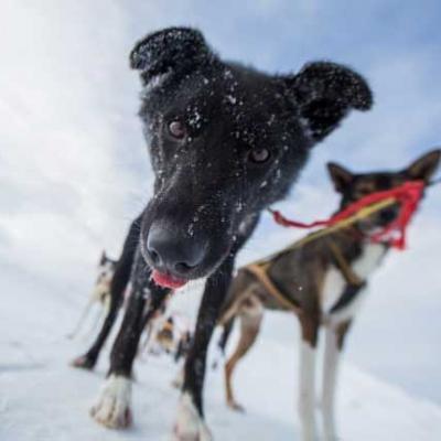 Sortie en traîneau à chiens dans les Alpes du Lyngen