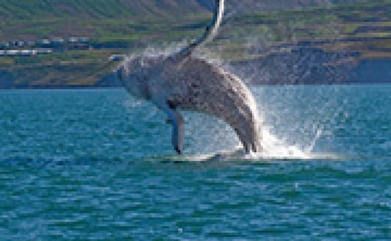 Observation des baleines dans la baie de Disko