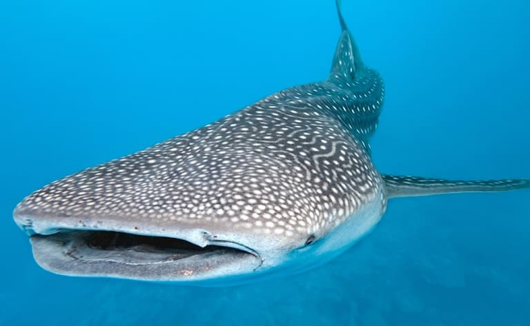 Observation et nage avec les requins baleines