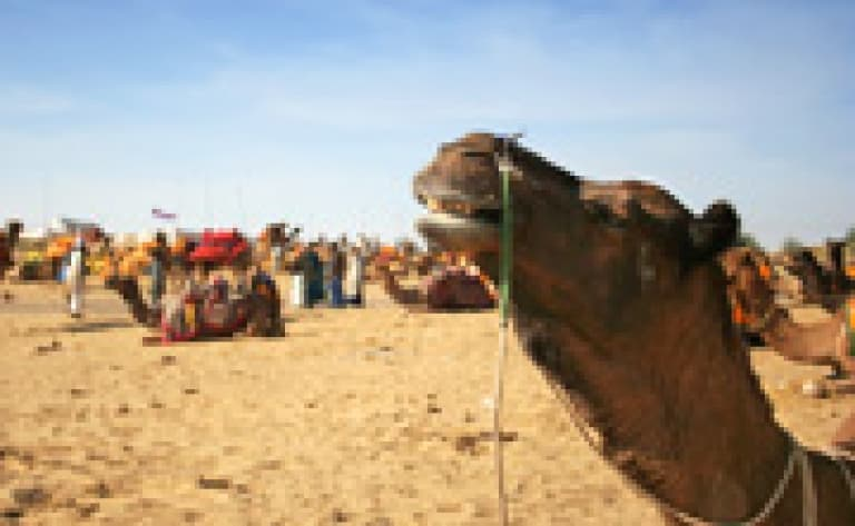 Balade à dos de chameau à Roopangarh
