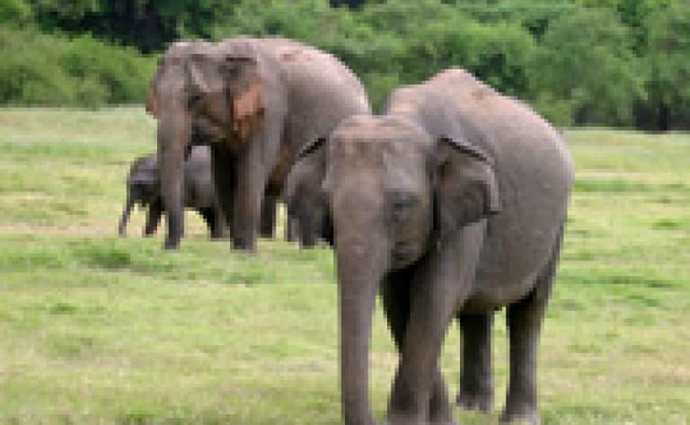 Safari dans le parc de Minneriya