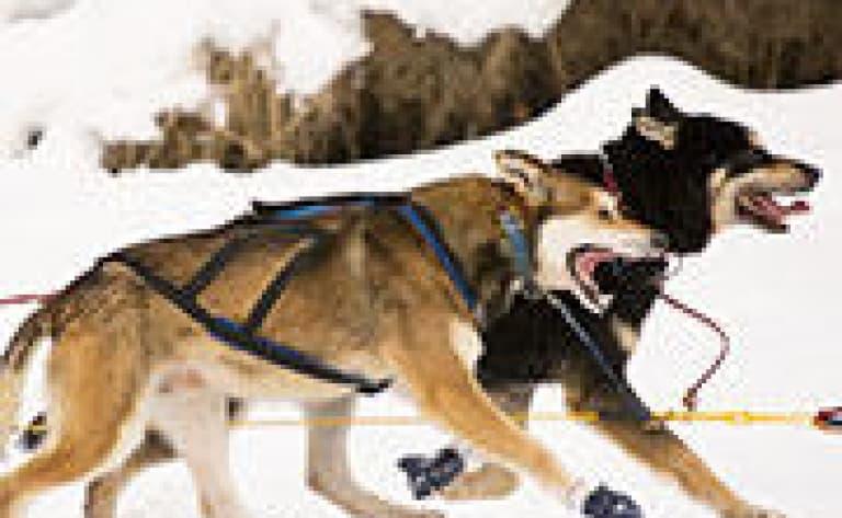 Initiation au traîneau à chiens
