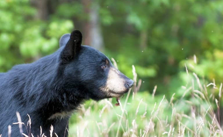 Observation de l'ours noir dans son habitat naturel - Acadieville