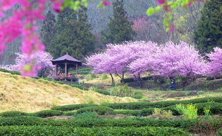 Visite d'une plantation de thé sur Taiwan
