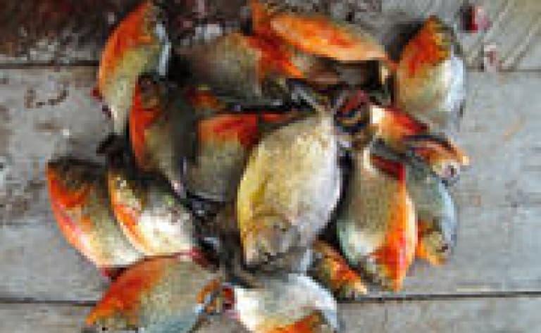 Pêche aux Pirhanas