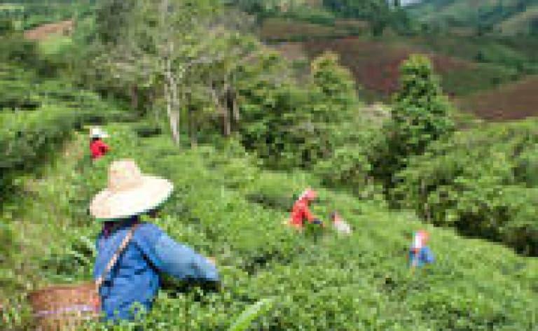 Dégustation de thé et visite d'une plantation