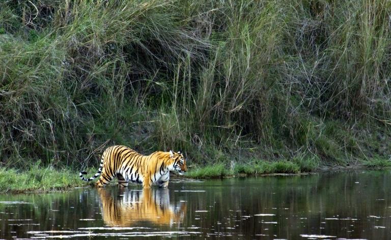 Safari et tigres
