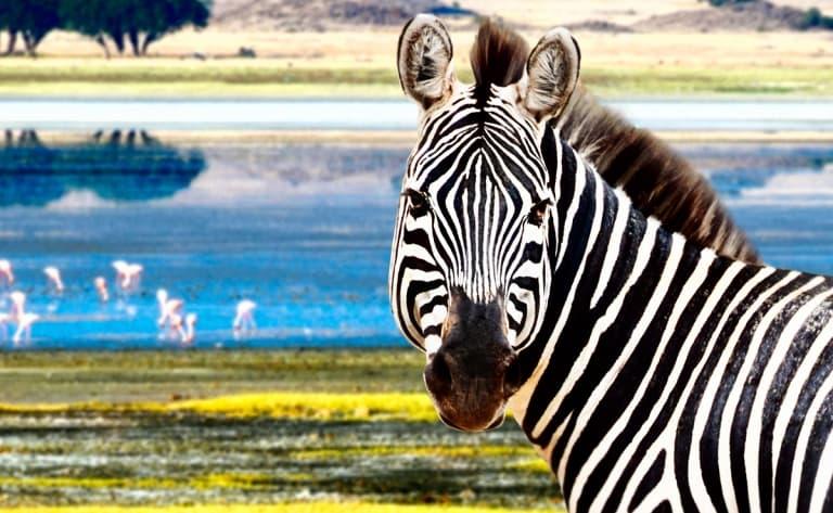 Premier safari au cœur du Parc Manyara