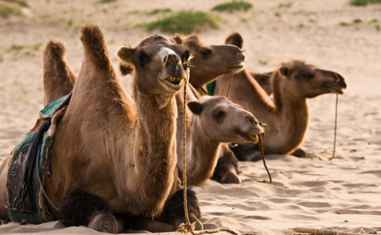 Fête des mille chameaux à Bulgan