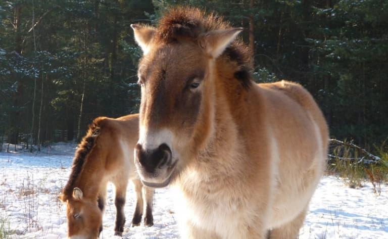 La réserve des chevaux de Prjewalski