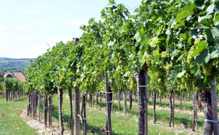 Vignobles au pied du volcan Tupungato