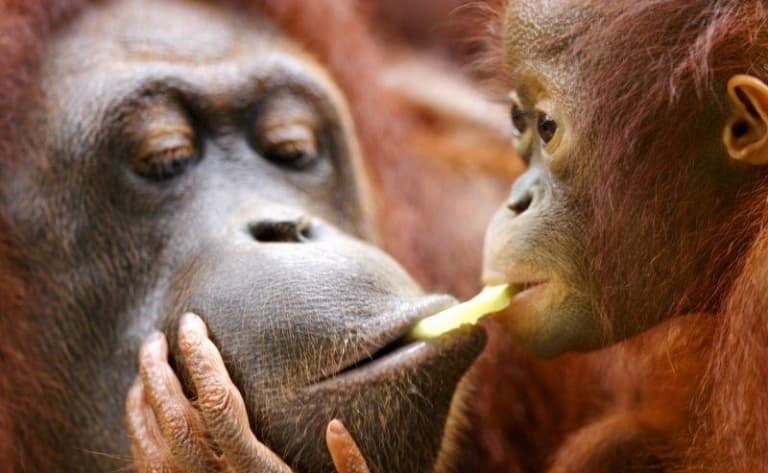 Orangs-outans et singes nasiques
