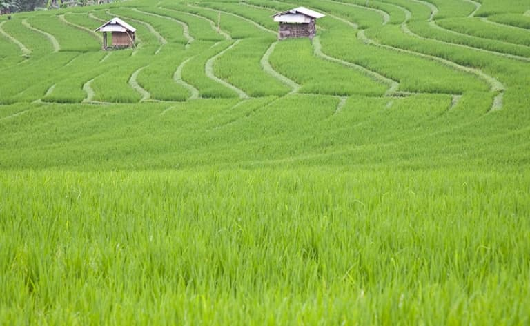 Trek dans les rizières