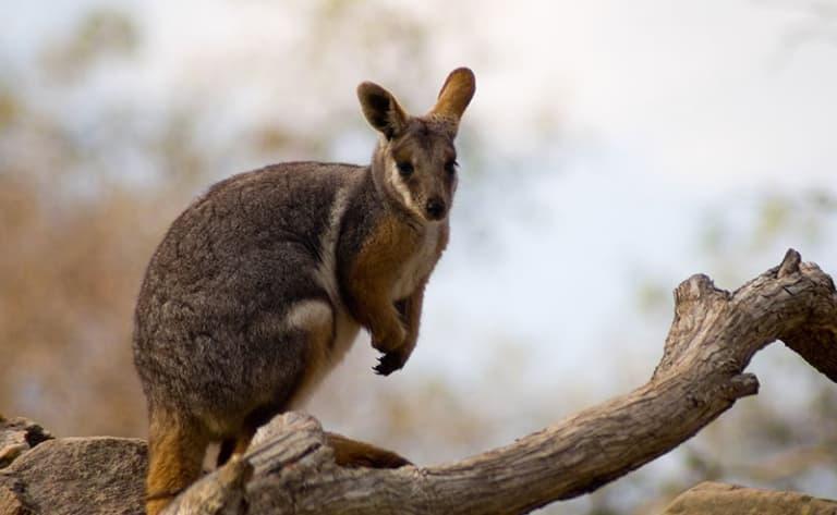 A la rencontre des kangourous