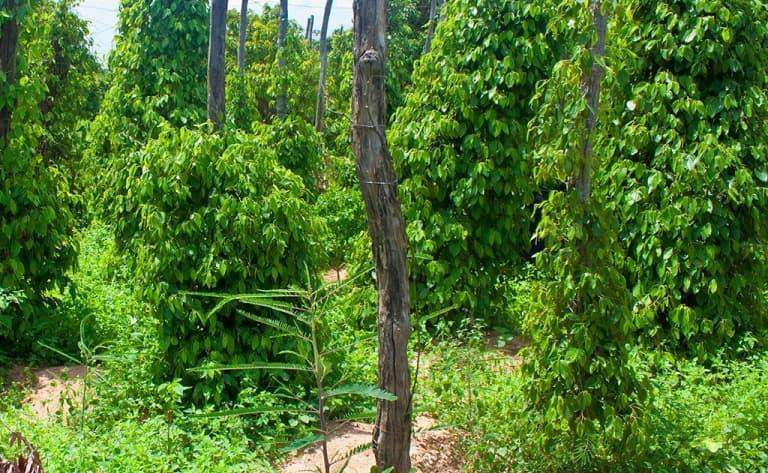 Au cœur d'une plantation de poivrier