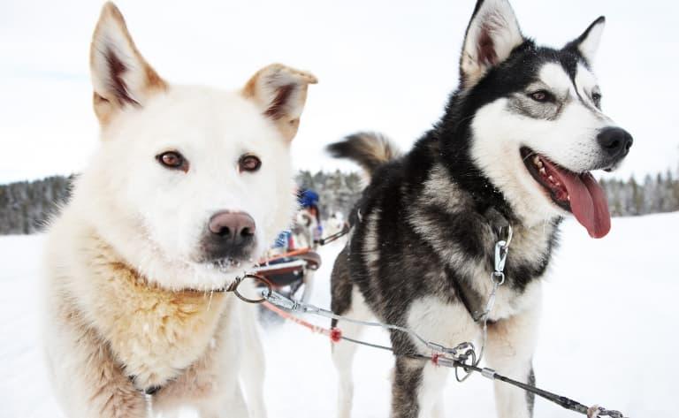 A la rencontre des Huskies !