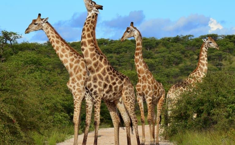 Derniers moments de safari à Amboseli avant de rejoindre Shaba