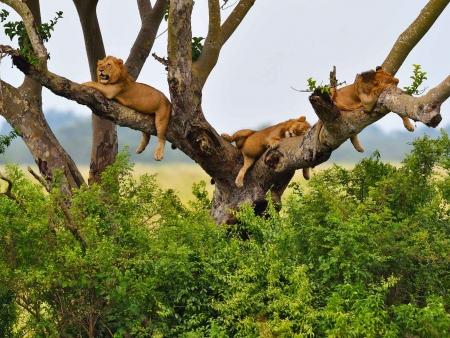 Lions dans les arbres et route de montagne