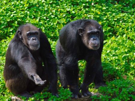 Kibale, rencontre avec les chimpanzés
