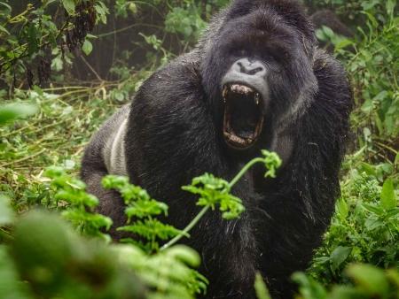 Les gorilles de Bwindi