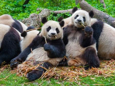 Rencontre avec les pandas géants