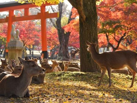 Les temples et les daims en liberté de Nara