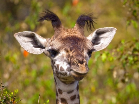Interaction avec les girafes et Kilimanjaro