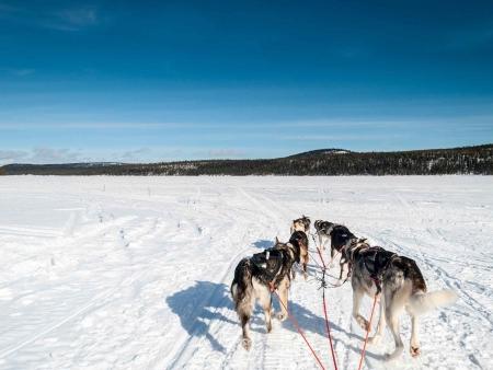 Safari en chiens de traîneaux