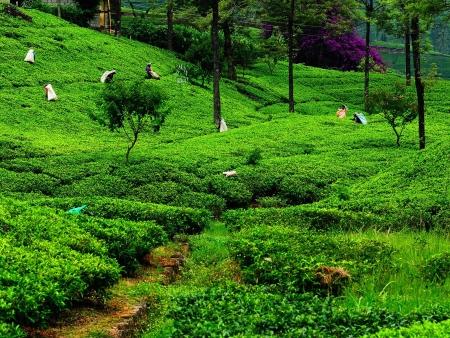 Nuwara Eliya et le secret du thé de Ceylan