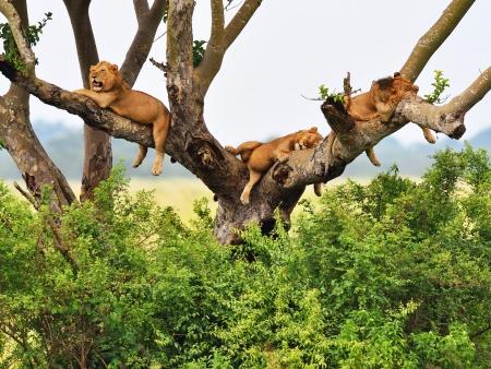 Girafes, lions et babouins…safari dans le parc Manyara