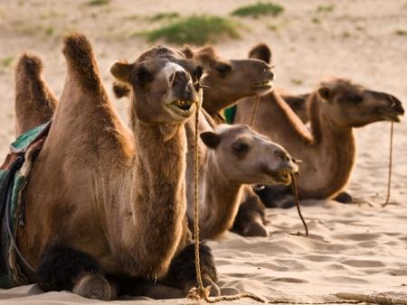 La fête des mille chameaux