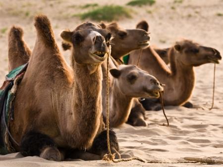 Balade à dos de chameaux dans les dunes et monastère de Ovgon