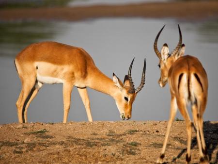 Le lion rôde et l'antilope guette…