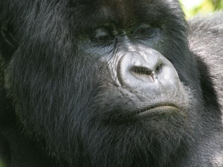Bonjour Gorilles du Rwanda !