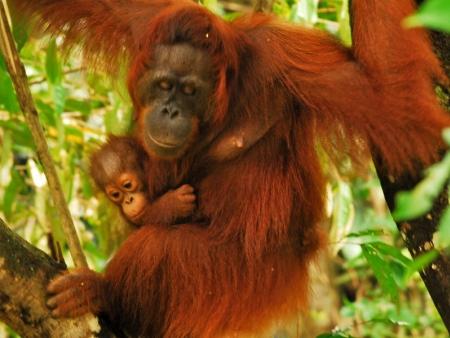 Orangutans and proboscis monkeys