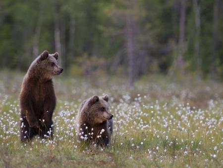 Rencontre avec les ours bruns